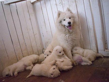 Родились щенки самоеды